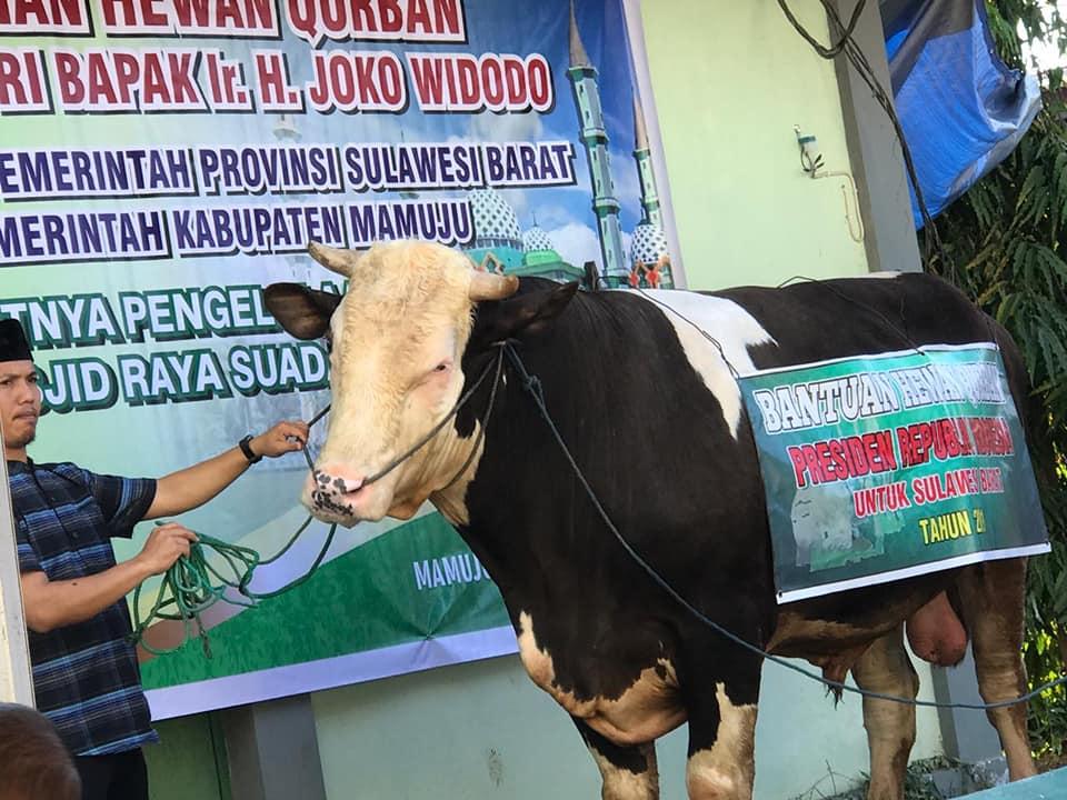 Sapi Jokowi di Mamuju , Hewan Qurban Negara Yang Terberat Diluar Pulau Jawa