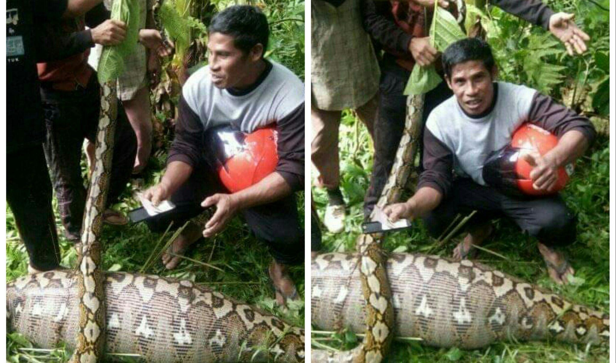 Phyton Mangsa Anak Sapi di Salubiro